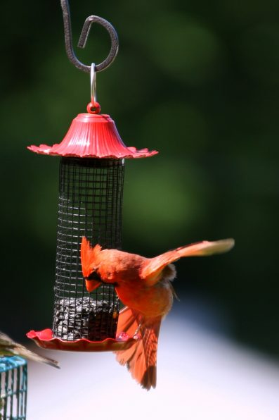 Cardinal on mesh tube feeder