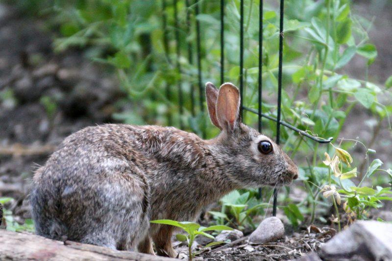 Rabbit nibbling peas