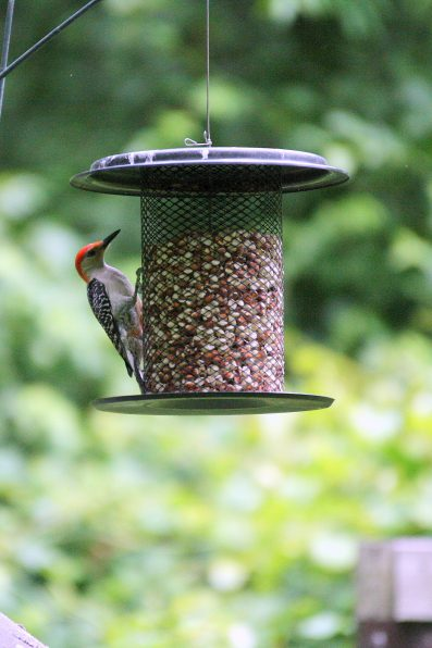 Red-bellied Woodpecker on mesh tube feeder