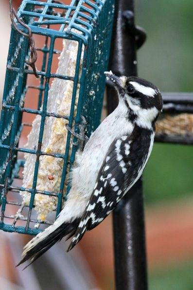 downy-woodpecker-on-suet