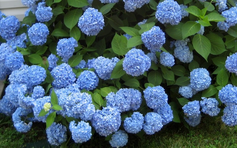hydrangea-plant