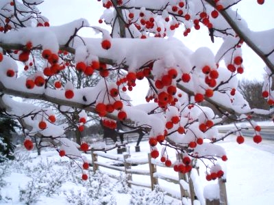 berry-tree-in-winter