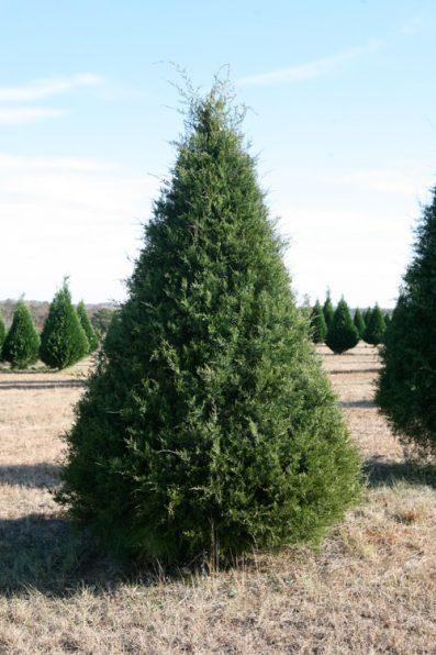 eastern-red-cedar