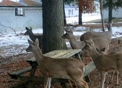 feeding-deer