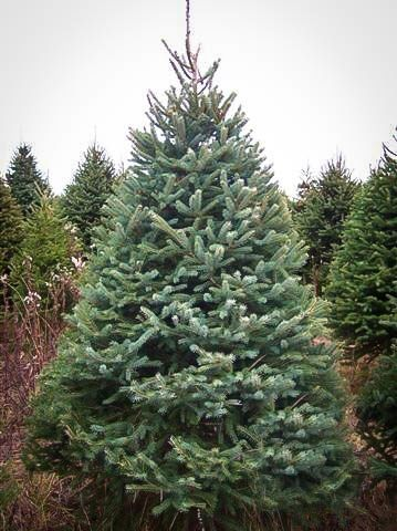 white-spruce
