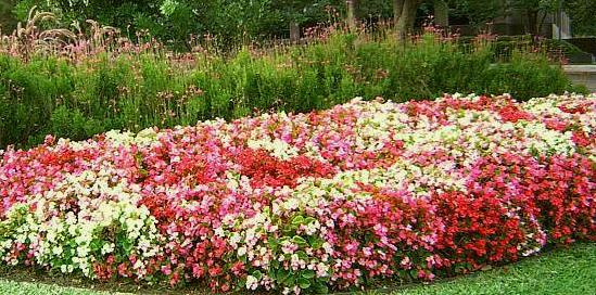 Begonias For Beginners