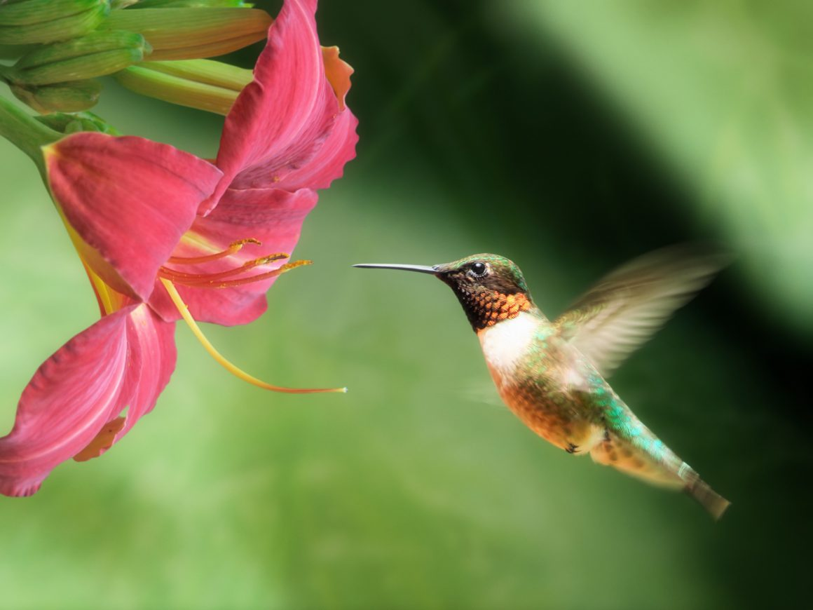 Image result for Hummingbird Flower