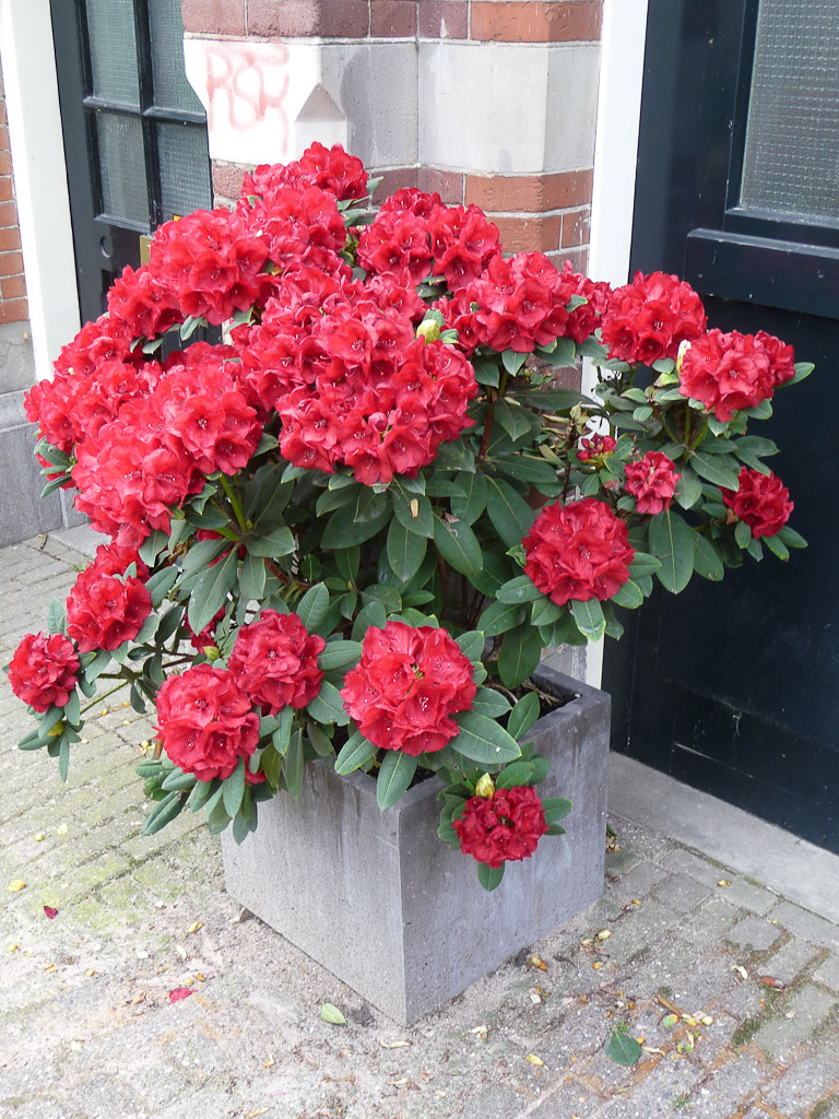 Rhododendron In Pot.Rhododendron Pot