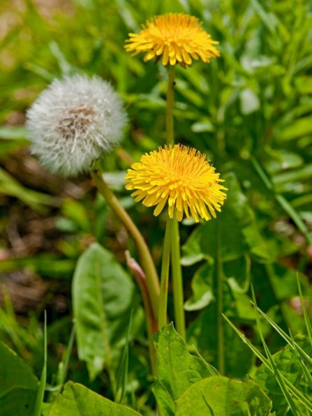 11 common lawn weeds to destroy before sowing new grass