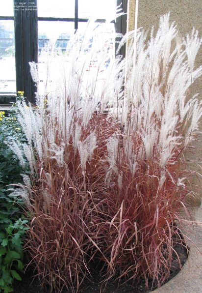 This Species Of Ornamental Gr Grows To About 3 6 Feet Tall With Co Thick Foliage The Long Arching Blades Stay Clumped