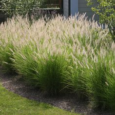 These Color Ornamental Gr Can Grow From 12 Inches To 3 Feet Tall They Are Easily Adaptable And Require Limited Maintenance Though Fountain Grows
