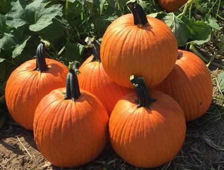 Craving pumpkin