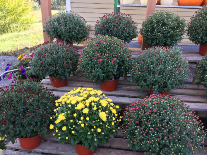 Different colors of Mums