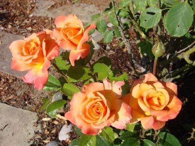 Roses in Arizona