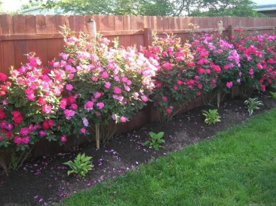 Roses next to a fence