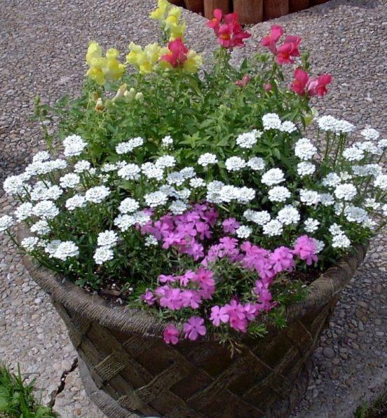 Planting Phlox in a Pot