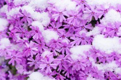 Snow on Phlox