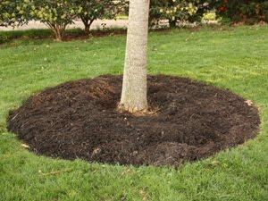 Redbud Planted