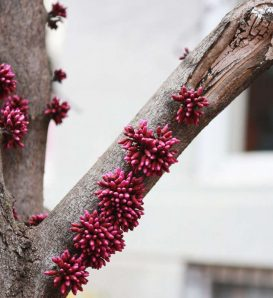 Redbud Tree Branch