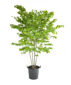 Planting a Redbud Tree